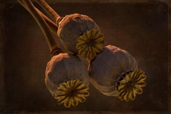 Poppy Pods by Charles Hopkins, f16 Digital, Score: 10