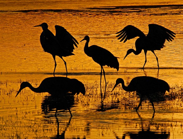 Sandhill Cranes by Mary Paetow, f16 Digital, Score: 9