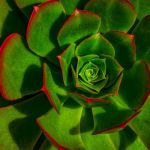 Red Edged Succulent by Leander Urmy, f11 Digital, Score - 9