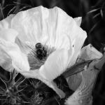 Bee on White Flower by Theresa Corrada, f8 Digital, Score: 10