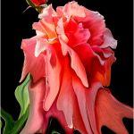 Heat Stressed Rose by Leander Urmy, f16 Digital, Score: 9