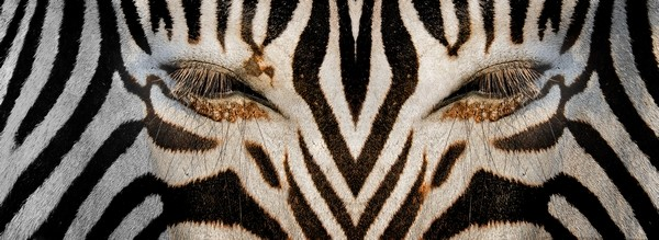 Synthetic Zebra by Joe Bonita, f16 Color, Score: 10
