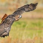 Red Tailed Hawk in Flight by Todd Christensen, F8 Digital, Score-10