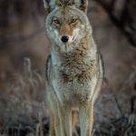 Coyote Portrait by Brian Donovan, f11 Digital, Score: 10