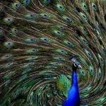 Outrageous Peacock by Joe Bonita, f16 Digital, Score: 9
