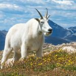 Mountain Goat in High Alpine Meadow by Todd Christensen, f11 Digital, Score: 10