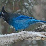 Stellers Jay in Snow by Elmer Paetow, 2nd f5.6 Digital