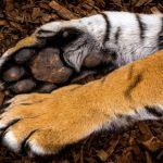 Paws of El Tigre by Leander Urmy, f16 Digital, Score: 9