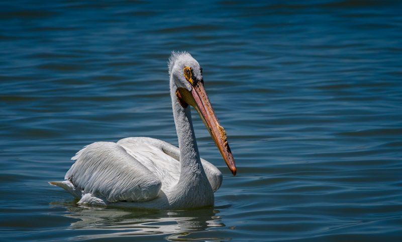 American White Pelican by Leander Urmy, f16 Digital, Score: 9
