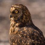 Short eared owl by Laura Moran, f8 Digital, Score: 9