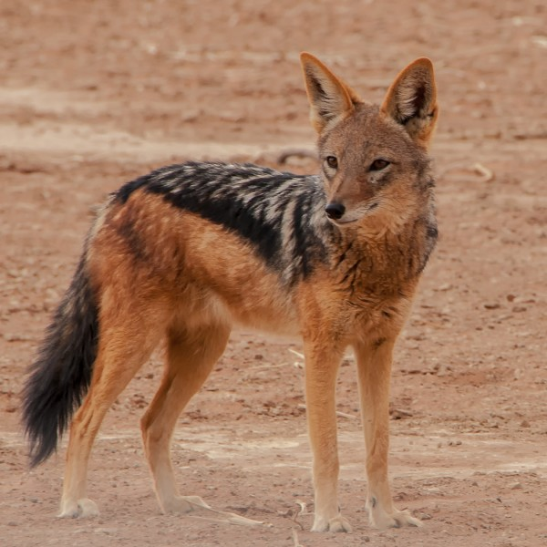 Curious Jackal – Namibia by Nancy Myer, f16 Digital, Score: 10
