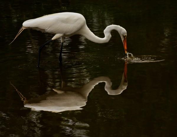 Fishing Egret by Oz Pfenninger, f16 Digital, Score: 10