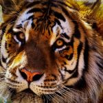 Royal Bengal by Larry Hartlaub, f8 Digital, Score: 9