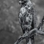 Galapagos Hawk by Dan Greenberg, f16 Monochrome, Score: 10