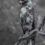 Galapagos Hawk by Dan Greenberg, f16 Monochrome, Score: 10