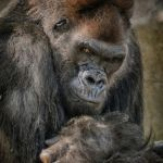 Silverback by Jeff Hochwalt, f11 Digital, Score: 10