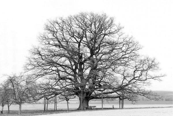 300 Year Old Oak Tree by Ernie Kuemmerer, f5.6 Digital, Score: 9
