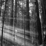 Redwoods in the Morning by Butch Mazzuca, f8 Digital, Score - 10