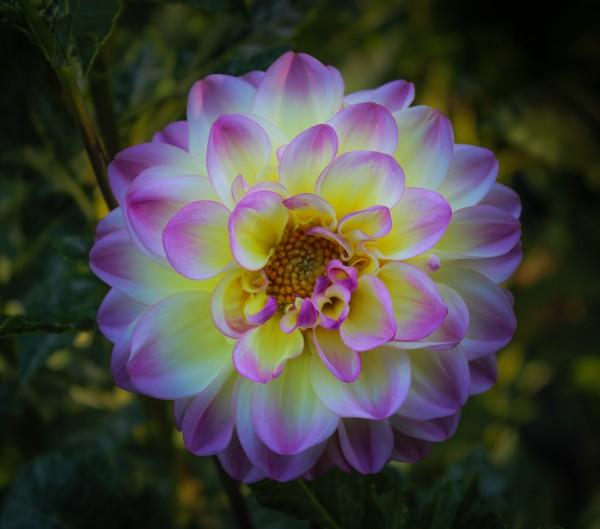 Dahlia by Ron Schaller, f8 Digital, Score: 9
