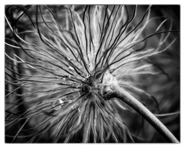 Peacock Flower by Theresa Corrada, f11 Digital, Score: 10