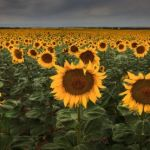 Fields of Gold by Butch Mazzuca, f11 Digital, Score: 9