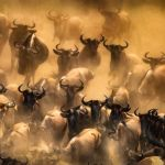Wildebeests by Butch Mazucca, f16 Digital, Score: 10