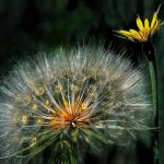 Dandelion by Dick York, f11 Digital, Score: 10