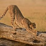 Cheetah Stretch by Mary Paetow, f16 Digital, Score: 9
