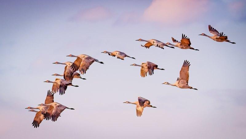 Sandhill Cranes by Ronald Schaller, f16 Color Digital, Score: 10