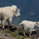 Mountain Goats on Buffalo Mountain by Bill Rothenmeyer, f11 Color Digital, Score: 9