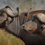 Buffalo & Housekeeper by Joe Bonita, f16 Color Digital, Score: 10