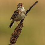 Singing Sparrow by Oz Pfenninger, f16 Color Digital, Score: 9
