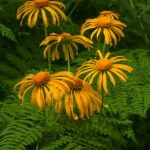 Colorado Wildflowers and Ferns by Bill Rothenmeyer, 3rd f11 Digital