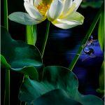 Lotus and Damselfly by Leander Urmy, 2nd f11 Digital