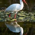 Ibis After Snack by Dick York, f16 Digital, Score: 10