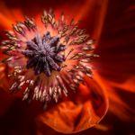 Oriental Poppy by Todd Soderstrom, f8 Digital, Score: 10