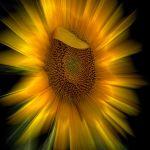 Sunflower Explosion by Leander Urmy, f16 Color Digital, Score: 10