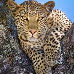 Leopardess by Butch Mazzuca, f16 Color Digital, Score: 10