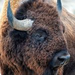 In the Presence of Bison by Lena Owens, F5.6 Digital, Score-9