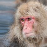 Snow Monkey by Ron Cooper, f16 Color, Score: 10