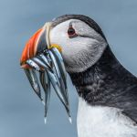 Puffin with Sand Eels by Scott Wilson, f16 Digital, Score: 9