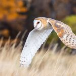 Barn Owl in Flight with Fall Colors by Todd Christensen, f11 Digital, Score: 10