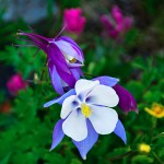 Colorado Columbine by Joyce Mickelson, 2nd f8 Color