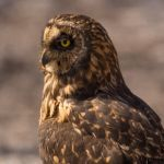 Short eared owl by Laura Moran, f8 Digital, Score: 9