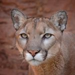 Cougar Portrait by Mary Paetow, f16 Digital, Score: 9