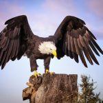 American Bald Eagle by Butch Mazzuca, f16 Digital, Score: 10