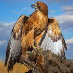 Red Tail Hawk by Butch Mazzuca, f16 Color Digital, Score: 9