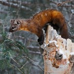 Pine Marten in Snow Flurry by Mary Paetow, 2nd f11 Digital