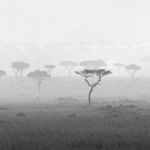 Acacia Tree Panaroma by Joe Bonita, f16 B&W Digital, Score: 10