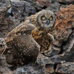 Galapagos Owl by Mary Paetow, 2nd f11 Digital